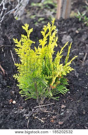 Thuja occidentalis with yellow leaves.Yellow cedar. They are commonly known as arborvitaes thujas or cedars.