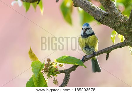 Male Blue Tit Sings On Cherry Tree_