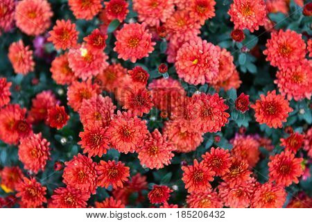 Bunch Of Small Red Summer Flowers