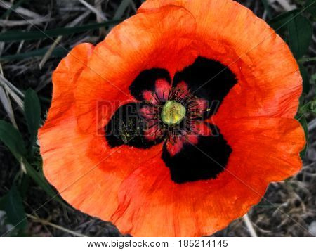 Red poppy on a green background of weeds. Beautiful untangled flower