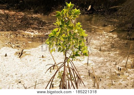 Mangrove growing on coastal mud It is a habitat of natural aquatic animals.