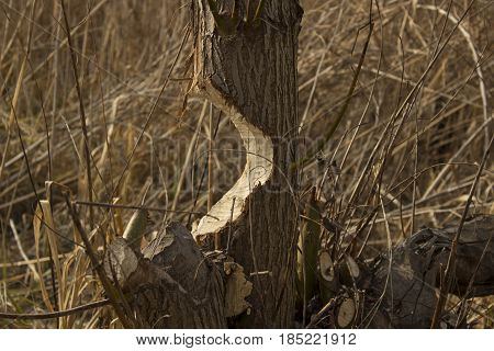 Tree on the verge of falling damaged by beavers
