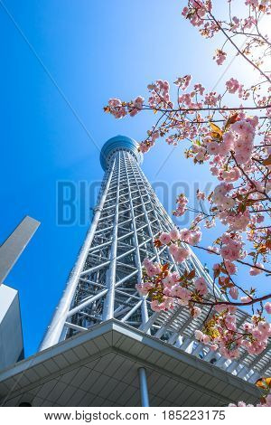 Tokyo Skytree with cherry blossoms in full bloom. Tokyo Skytree is the tallest tower in the world, broadcasting and observation tower in Sumida District, Tokyo, Japan. Blue sunny sky. Vertical shot.