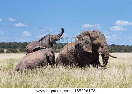 Three Elephants playing in a water hole Namibia Africa