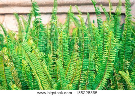 Nephrolepis exaltata (The Sword Fern) - a species of fern in the family Lomariopsidaceae for background.