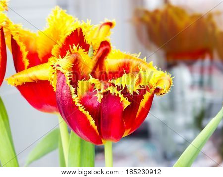 The tulip is a Eurasian genus of perennial, bulbous plants in the lily family.