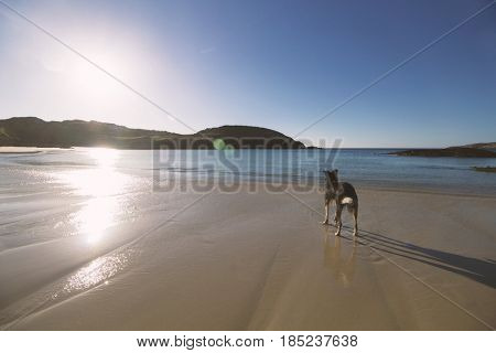 Dog standing at Achmelvich beach, Scotland