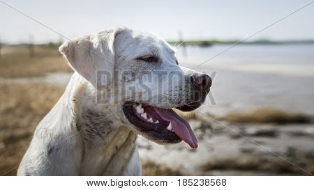 cute labrador retriever dog puppy on the beach with mud in his face