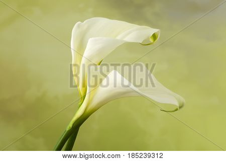 Perfect specimen of two white Calla flowers
