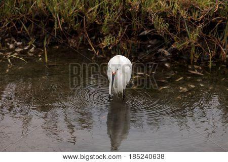 Snowy Egret, Egretta Thula