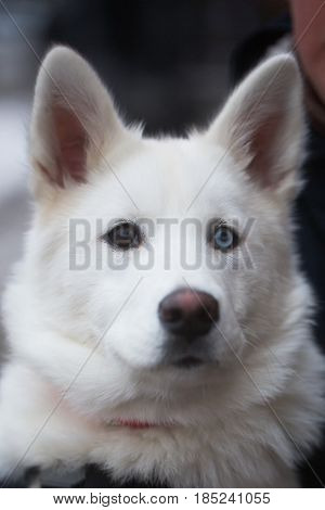 husky. Head of big white dog domestic animal or cute pet with brown and blue eyes prick ears and fluffy coat outdoors on grey blurred background. Friendship and guarding
