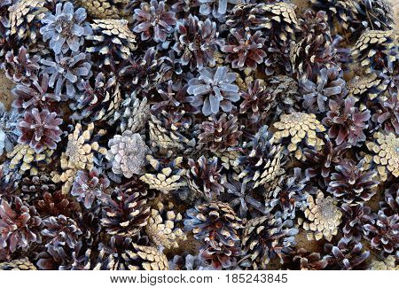 pinecone nature stones pine woody coniferous forest pattern ingredient dry abstract texture red closeup seed food black fruit spice pepper