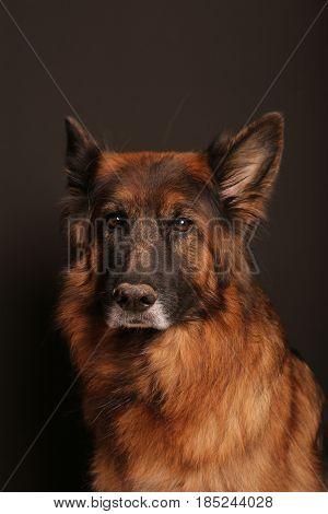 Long Haired German Shepherd Dog Alfıe's Portrait on black