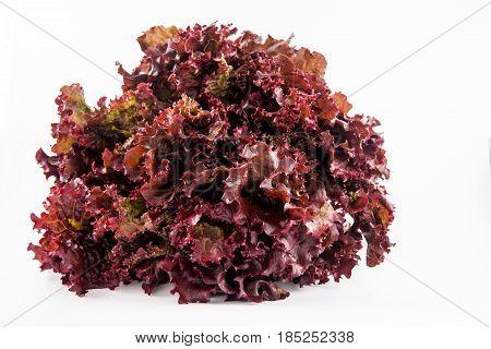 Purple romaine lettuce (Lactuca sativa) isolated in white background