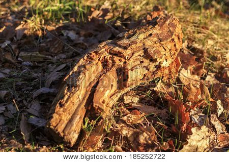 a rotting tree trunk lying in the foliage of young trees