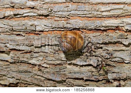 Snail in a shell, creeps on a wooden surface
