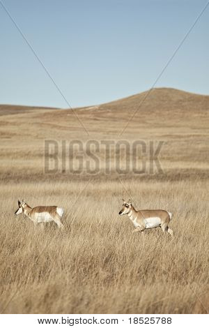 american antelope on the plains of south dakota poster