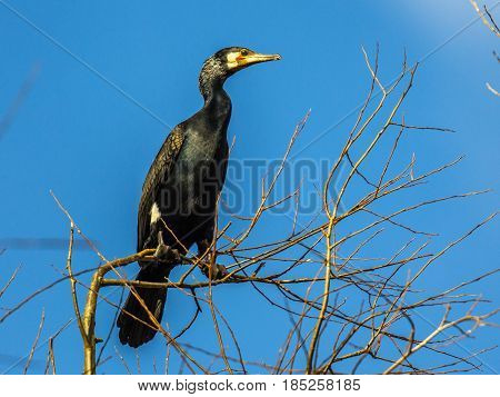 Great Cormorant Perched In Tree