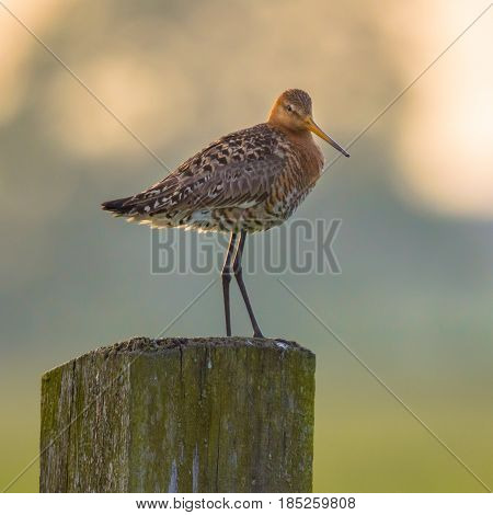 Looking Black-tailed Godwit On Post With Pastel Colored Background