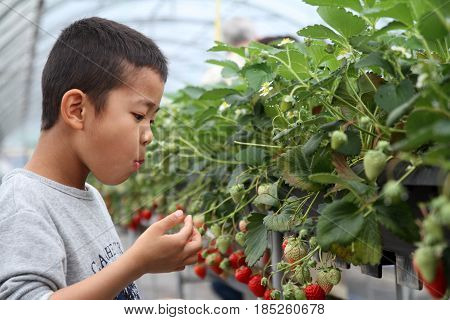 Japanese Boy Picking Strawberry (second Grade At Elementary School)