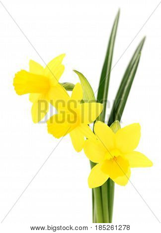 Three yellow flowers isolated on the white.