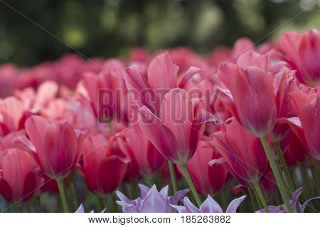 Field of red tulips closeup with blurred background