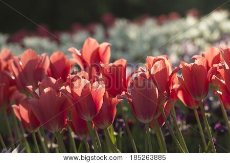 Field of red tulips hit by the sunlight