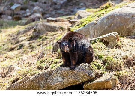 Black bear coming out in the sun after the long winter hibernation.