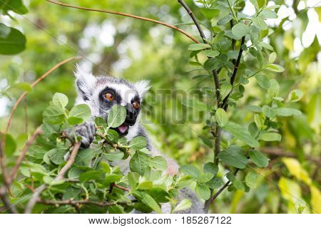 Ring-tailed Lemur on top of a tree