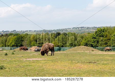European bison in a green field eating grass against a blue sky