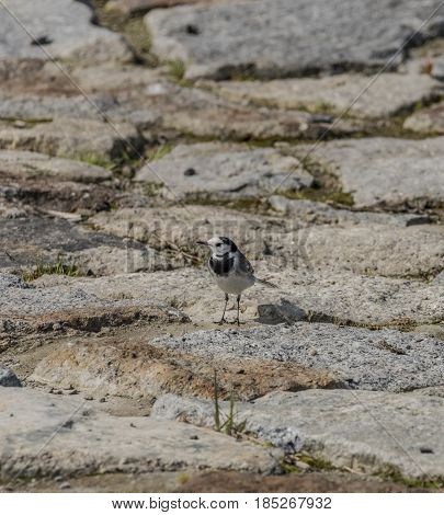 Wagtail bird on stone pavement in spring day