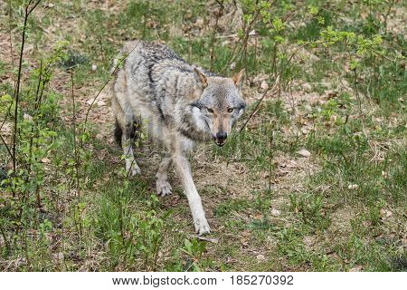 The wolf lurks on prey looking from the front. Canis lupus wolf wild wolf. European wolf Europaeischer Wolf Canis lupus wolf CZECH REPUBLIC.