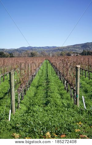 Daytime exterior stock photo of row of grape vines at Winery in Napa Valley in California on clear sunny winter day.