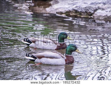 Daytime exterior stock photograph of two mallard ducks in Spring swimming in pond at Glen Falls in Williamsville, New York in Erie County
