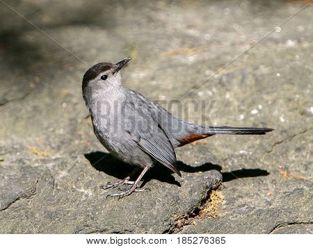 Gray catbird on the ground with its head turned back.