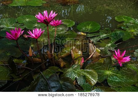 Beautiful waterlily or lotus flower in the pond