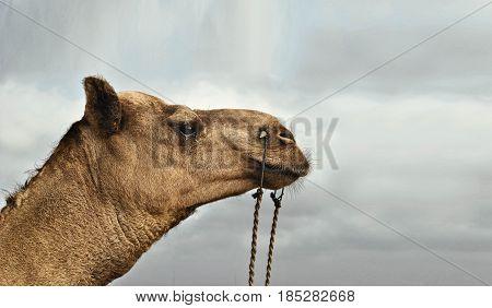 Beautiful picture of a camel at Clifton Karachi Pakistan 21/09/2011
