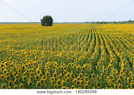 Summer rural landscape. Flowering sunflowers in a field and a lonely tree