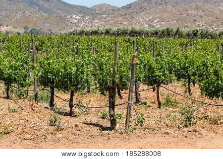 Grapes growing on vines in a rural area of Ensenada, Mexico in Baja California.