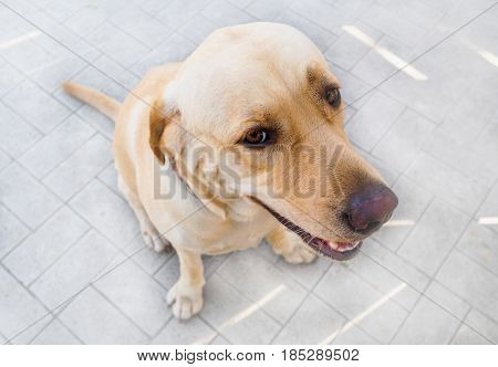Brown Labrador dog with tricky look sitting and waiting for someone.