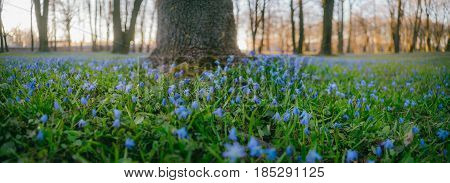 Natural fowerbed of Siberian Squill or Scilla siberica flowers in public park from ground view panorama