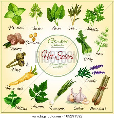 Spices and herbs vector. Marjoram, sorrel or parsley and dill cooking condiments, lavender or lemongrass and melissa aroma flavoring, garlic, poppy and coriander seeds and horseradish seasonings