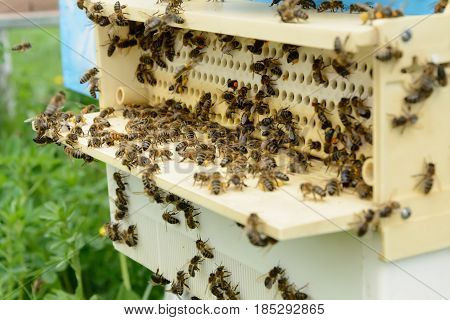 The device is designed to collect pollen attached to the hive. Apiculture. Bees collect pollen