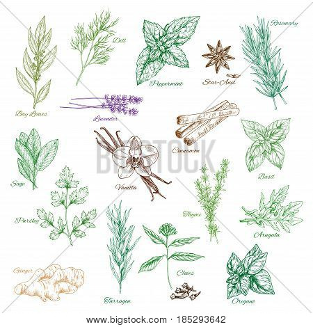 Spices and herbs sketches. Bay leaf and dill or peppermint and anise, rosemary and sage with vanilla and cinnamon, parsley and tarragon flavoring, basil or oregano and arugula. Vector isolated set