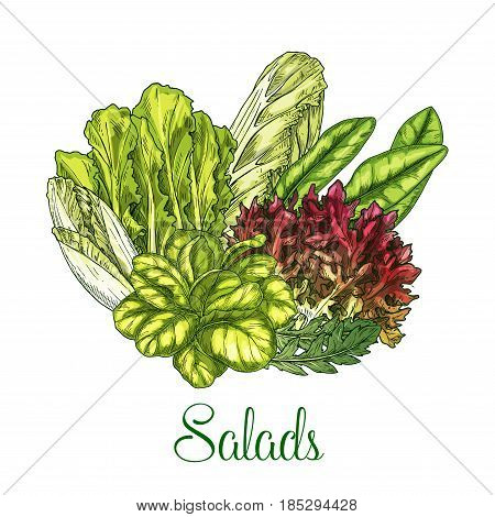 Salads poster of vegetables and lettuce veggies. Vector bunch harvest of chicory and oakleaf lettuce, watercress or corn salad and pak choi or gotukola, collard leaf and arugula or swiss chard cabbage