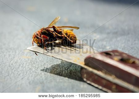 Beekeeper killed hornets who ate bees. Bee killer hornet . Apiculture