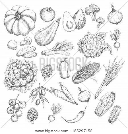 Vegetable harvest vector sketches. Isolated veggies corn or carrot, pumpkin and zucchini squash, broccoli or cauliflower cabbage, tomato, garlic, onion and cucumber. Farm fresh pepper, radish and beet