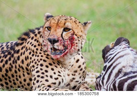A cheetah (Acinonyx jubatus) with gore on his face takes a break from consuming his fresh zebra kill. Ol Pejeta Conservancy Kenya.