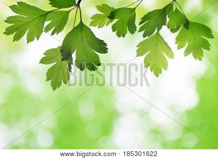 Closeup of hawthorn twig with green leaves on a natural blurred background.