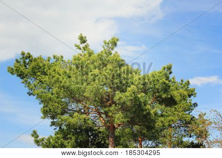 Four pine trees against a blue cloudy sky in the spring afternoon.